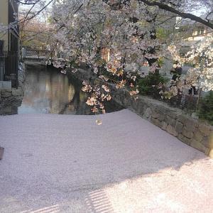 高瀬川に桜の花筏