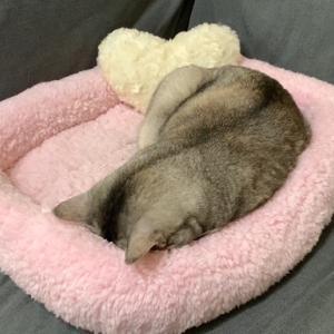 【猫のごめん寝】誰にもかまってもらえず寝てしまいました!