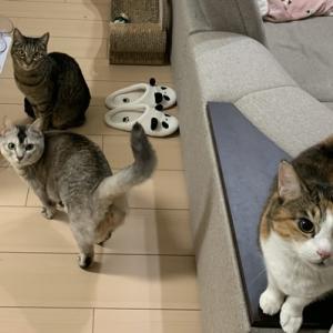 【関西弁をしゃべる猫】猫の日におしゃべりペットで遊んでみました!