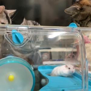 猫とハムスター初対面!猫たちは興味津々だけどハムちゃんはマイペース!