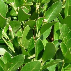月桂樹(ローレル)LAUREL