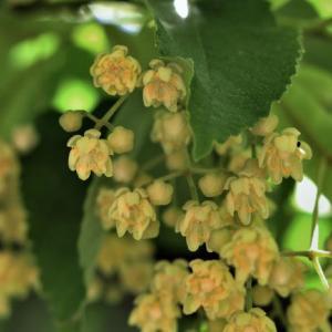 【リンデン(菩提樹)】スペイン語の花の名前と花言葉