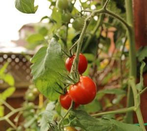 【おうちで家庭菜園】あの家庭菜園は今!?1か月後の状態をご報告~トマト編~
