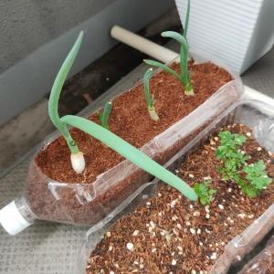 【記録用・おうちで家庭菜園】ネギを収穫してみた