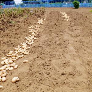 梅雨入り前にジャガイモ収穫、大忙し。
