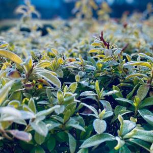 咲き誇る霜の花
