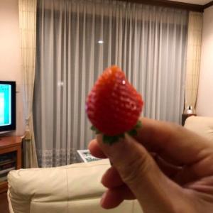 早朝練習ではなく早朝リノベーション^^:+家庭菜園:イチゴ収穫~+リフォーム業者見積届く~!!