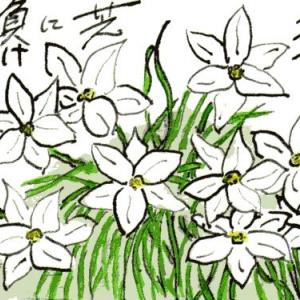 ハナニラ(絵手紙)