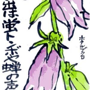 ホタルブクロ(絵手紙)