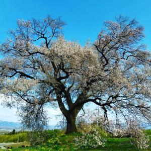 わに塚の桜🌸