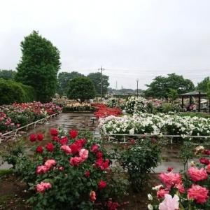 大雨の中バラ園へ行く 県内最大級のバラ園
