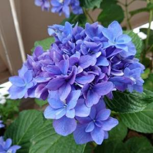 アジサイの色を青くする方法を試す2 その後とアジサイの色の変化