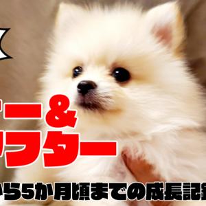 ポメラニアン子犬のビフォーアフター動画【生後2か月から5か月頃までの成長記録】