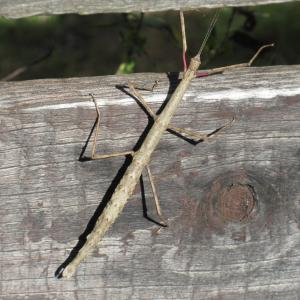 巨大昆虫・ナナフシ
