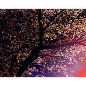 夜桜がとても綺麗でした