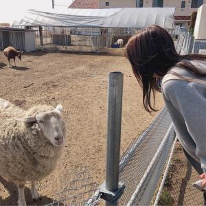 羊を間近で見ました!