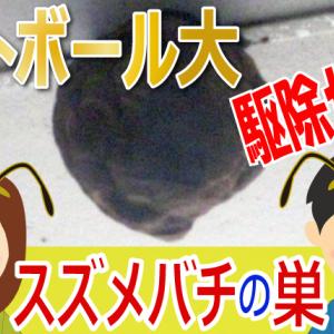 【危険】軒下にできたスズメバチの巣:前編【駆除】