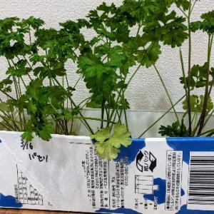 室内でのハーブ栽培。土なしの種まき方法。