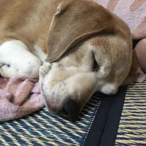 【本当に怖い】犬フィラリア症について