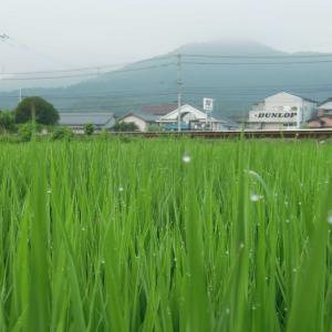 稲がここまで育ちました