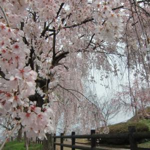 吉野川市・桜の花・向山(こうのやま)公園満開