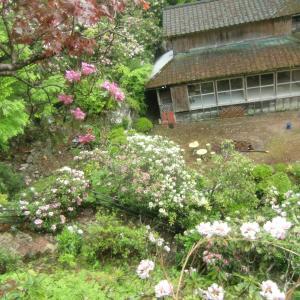 シャクナゲ咲き誇る徳円寺