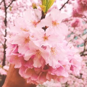beautiful Sakura pic from my husband