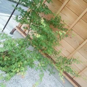 清水かな 雨の澄みたる 青楓*