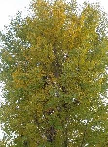 葉色のように移り気な。