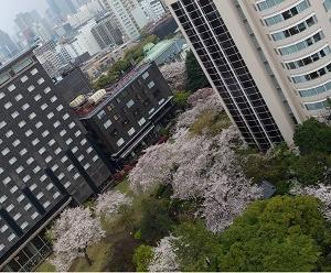 桜花見納め、もう4月…。