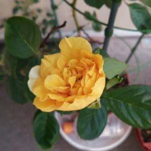 今朝、妻のバラの花の蕾が開いていました。