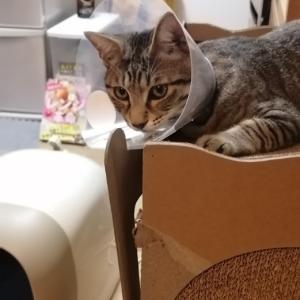 猫の去勢手術が終わりました。