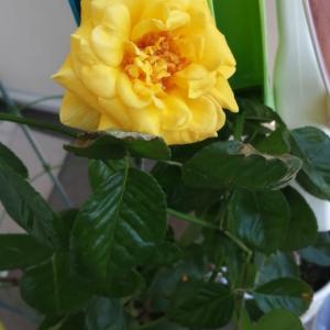 またまたバラが咲きました。