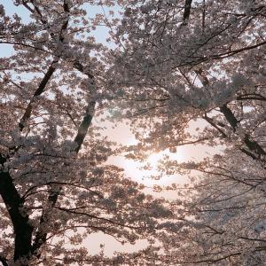 ユニクロ購入品と閉ざされた桜並木