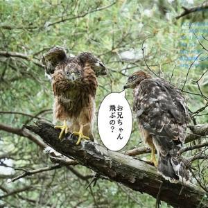 幼鳥のガルウィング