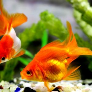 人生の半分以上を金魚と過ごしたベテラン素人が語る金魚の飼い方 〜初心者こそ覚悟を持って〜