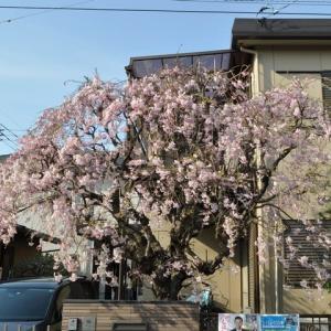 鴨川の名物枝垂桜が満開に