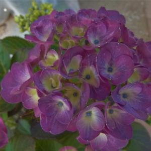 秋色アジサイかな・・? 紫陽花 クイーンズブラックのその後の。 クリーム文鳥とキンカチョのことも