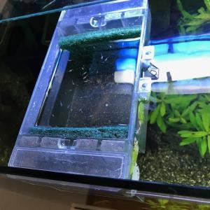 【スドー】サテライトスリムSでメダカの稚魚を飼育6