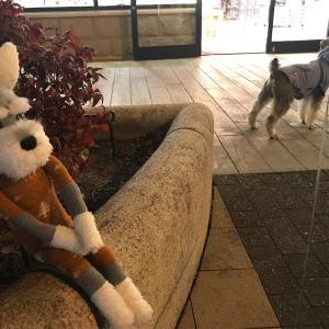 【シュナる旅】愛犬と巡る街🚶♀️アウトレットへGo![ソックシュナとおでかけ]