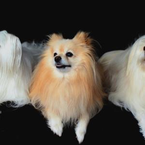 ポメラニアンが他の犬より吠えるのは、なぜ?飼い主はどうすべき?