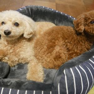 タイニープードルのような超小型犬にベッドは必要?選ぶ基準は?
