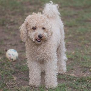タイニープードルはどんな性格の犬?飼い方やしつけのコツは?