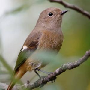 藪のジョウビタキ(♀)