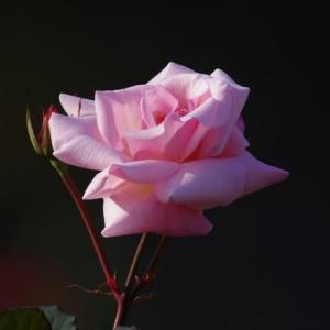 初冬の薔薇・Mme Butterfly