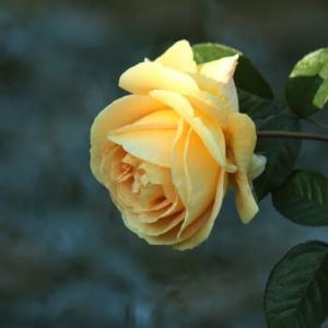 初冬の薔薇・Fragrant Apricot