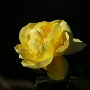黄色い薔薇・エミール ノルデ