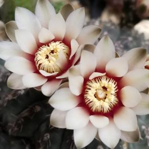 瑞晶玉の花 あとはアガベとか何か