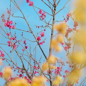 明日から、吉野梅郷梅まつり!咲き具合は?