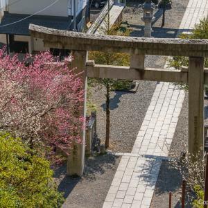 梅満開!青梅・住吉神社の、駅チカ梅見を楽しむ!